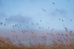 Uma paisagem bonita com um rebanho do voo de gansos migratórios sobre uma floresta dos juncos Imagem de Stock Royalty Free