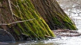 Uma paisagem inundada da floresta com pântano e as árvores inoperantes Inundação da mola no rio A água estourou sua floresta inun filme