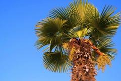 Uma palma de data contra o céu azul brilhante Imagens de Stock Royalty Free