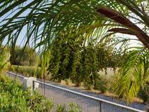 Uma palmeira Fotos de Stock