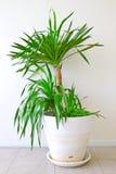 Uma palmeira potted fotografia de stock