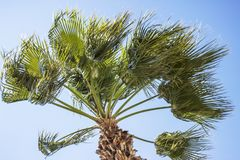 Uma palmeira que funde no vento com um fundo do céu azul fotografia de stock