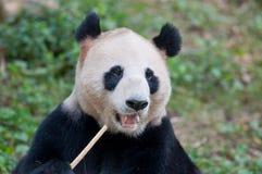 Uma panda gigante Fotografia de Stock Royalty Free