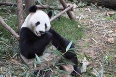 Uma panda gigante fotos de stock royalty free