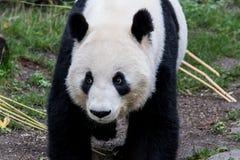 Uma panda gigante fêmea anda com sua cabeça para baixo fotografia de stock royalty free