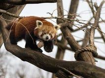 Uma panda vermelha que escala em uma árvore imagem de stock