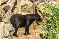 Uma pantera preta em um jardim zoológico, nas boas condições foto de stock