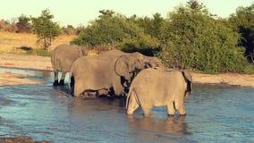 Uma parada ou um rebanho dos elefantes são beber considerado de um furo de água natural video estoque