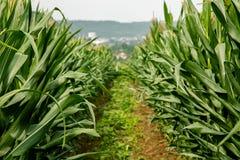 Uma parte de folhas do milho Fotos de Stock
