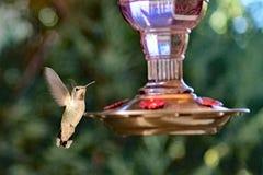 Uma passagem do voo do colibri o alimentador imagens de stock
