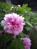 Uma peônia cor-de-rosa na flor completa foto de stock