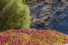 Uma pilha das maçãs Fotografia de Stock
