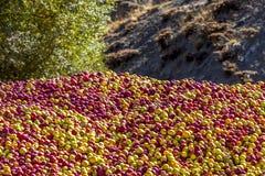 Uma pilha das maçãs Imagens de Stock