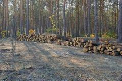 Uma pilha do pinho entra os cortes da floresta foto de stock