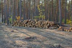 Uma pilha do pinho entra os cortes da floresta imagens de stock