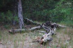 Uma pilha dos logs velhos esquecidos na floresta após abater Não longe do lugar de carga velho visto entra caminhões da madeira fotografia de stock