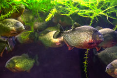 Uma piranha nada fora do grupo Fotografia de Stock Royalty Free