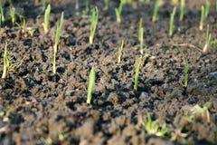 Uma plântula da grama com luz do sol e argila molhada Imagem de Stock Royalty Free