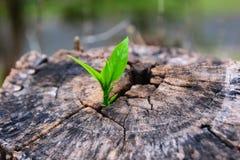Uma plântula forte que cresce no centro a árvore do tronco Fotografia de Stock