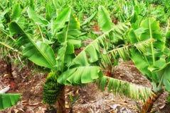 Uma plantação de banana fotografia de stock