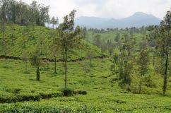 Uma plantação de chá. fotos de stock