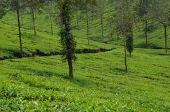 Uma plantação de chá. fotografia de stock
