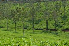 Uma plantação de chá. foto de stock royalty free