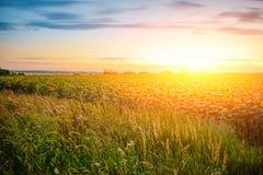 Uma plantação de girassóis verde-amarelos bonitos após o por do sol no crepúsculo contra um céu claro bonito com nuvens macias Imagem de Stock Royalty Free
