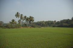 Uma plantação do arroz sem os trabalhadores cercados por palmeiras imagem de stock