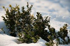 Uma planta com verde sae na neve Foto de Stock Royalty Free