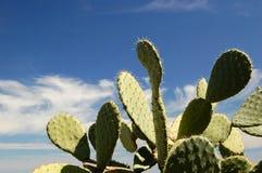 Uma planta das espinhoso-peras? Imagem de Stock