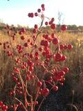 Uma planta de Aronia com as bagas vermelhas no Sun na queda Foto de Stock Royalty Free