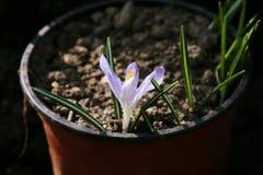 Uma planta de solo pequena no vaso de flores tão famoso quanto o açafrão ou o açafrão Imagem de Stock Royalty Free