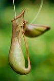 Uma planta do retrato (Nepenthaceae) Imagem de Stock Royalty Free