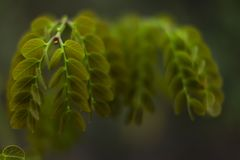 Uma planta dos adstringens do stryphnodendron foto de stock royalty free