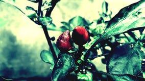 Uma planta maravilhosa dos pimentões Imagem de Stock Royalty Free