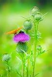 Uma planta medicinal, a erva daninha é comum barato (lat Vulgare do Cirsium) Imagem de Stock