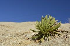 Uma planta na sobremesa Foto de Stock