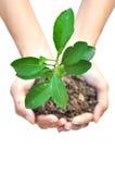 Uma planta nas mãos fêmeas Fotografia de Stock Royalty Free