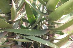 Uma planta verde de vera do alo?s com folhas secas durante uma temporada de ver?o fotos de stock royalty free