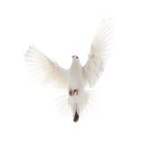 Uma pomba branca do voo livre isolada em um fundo branco foto de stock