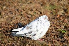 Uma pomba branca senta-se em uma folha marrom Imagens de Stock