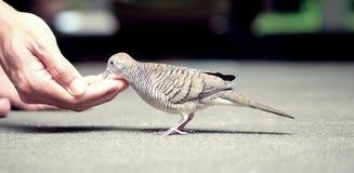 Uma pomba come o alimento Foto de Stock Royalty Free