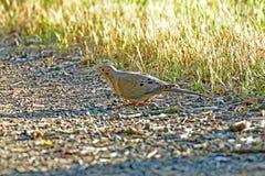 Uma pomba da manhã Imagem de Stock Royalty Free