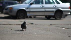 Uma pomba que come pães ralados em uma rua da cidade no movimento lento video estoque