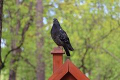 Uma pomba senta-se em uma vara na natureza da floresta imagens de stock royalty free