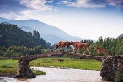 Uma ponte acrossing da família do gado Fotos de Stock