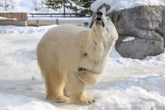 Uma pose agradável do urso polar na terra coberto de neve em Japão Imagens de Stock