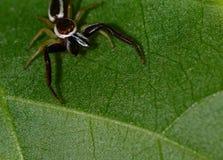Uma pose de salto realmente impressionante da aranha foto de stock