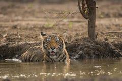 Uma pose real por um filhote de tigre do mal no parque nacional de Ranthambore foto de stock royalty free